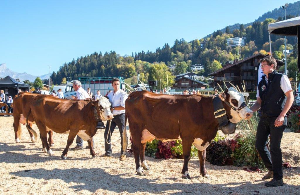 Megève. Les vaches et les génisses Abondance sur le tapis rouge